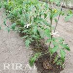 RIRAI トマト定植後-1