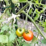家庭菜園 誘引